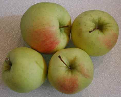 i-apples-gingold1