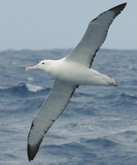 birdsongs_-_royal_albatross