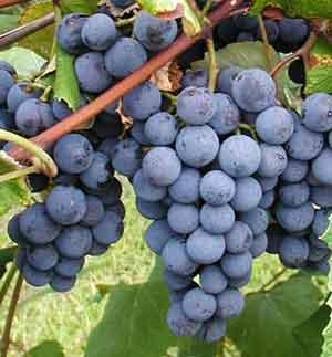 concord_grape_variety