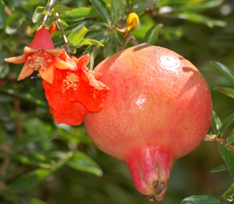 Pomegranate_flower_and_fruit
