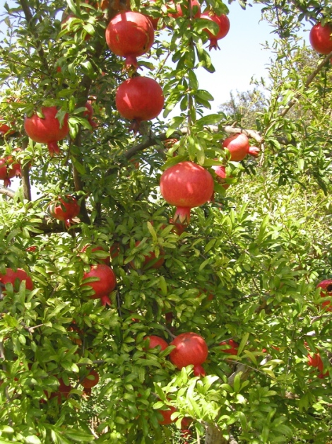 Pomegranate tree with ripening fruit